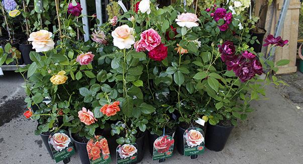 Где купить для посадки розы где купить розы алый карсон