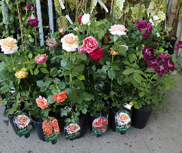 Покупка роз