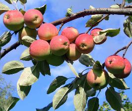 Основные принципы обрезки плодовых деревьев
