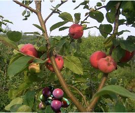 Как прививать плодовые деревья?