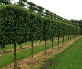 Выращиваем деревья и кустарники с плоской кроной (на шпалерах)