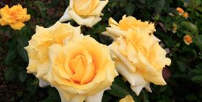 <strong>25</strong> сортов чайно-гибридной розы